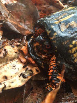 turtle-fletcher-nc